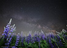 Milky Way over the Lupines - Lake Tahoe (2 of 2) 06/12/2015